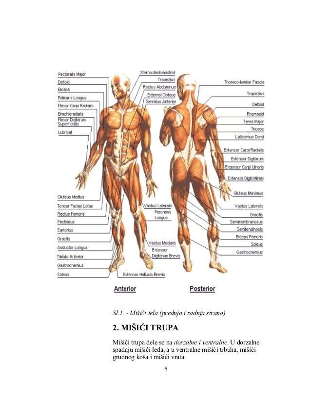 Sl.1. - Mišići tela (prednja i zadnja strana) 2. MIŠIĆI TRUPA Mišići trupa dele se na dorzalne i ventralne. U dorzalne spa...