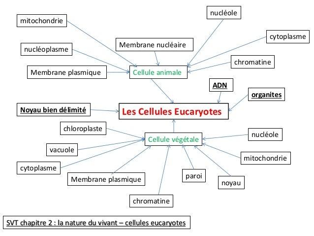 Membrane plasmique Cellule animale  Les Cellules Eucaryotes  cytoplasme  mitochondrie  chromatine  nucléoplasme  Membrane ...