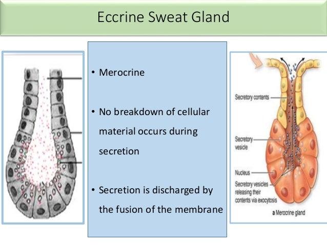 Sweat gland - anatomy and function