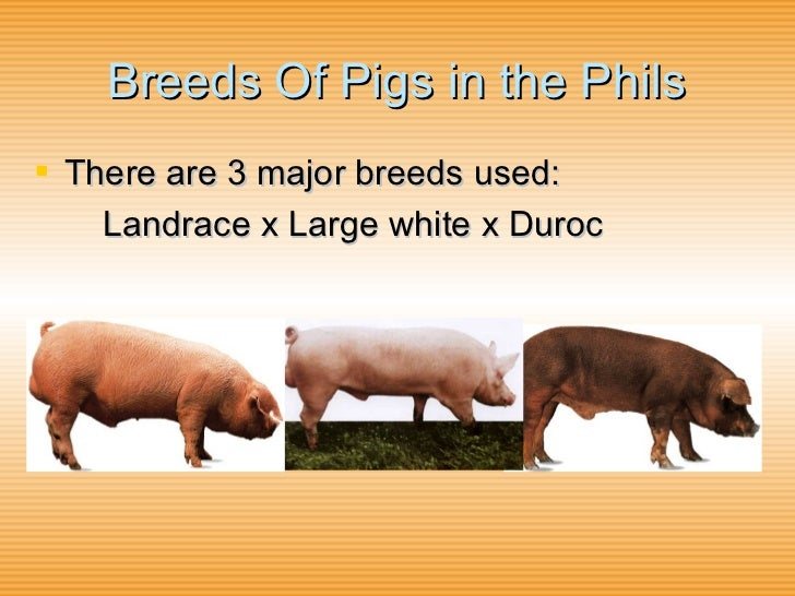 diffrent breeds of pigs