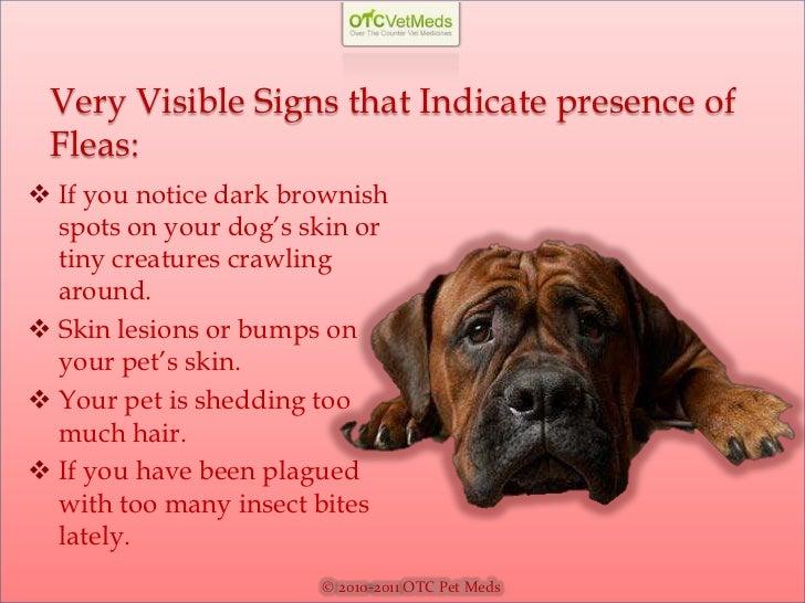 Symptoms of fleas on dogs