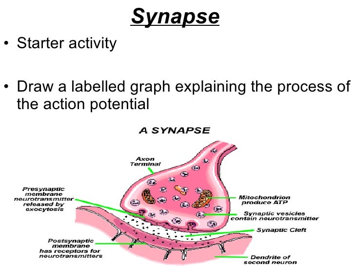 Synapse   <ul><li>Starter activity </li></ul><ul><li>Draw a labelled graph explaining the process of the action potential ...