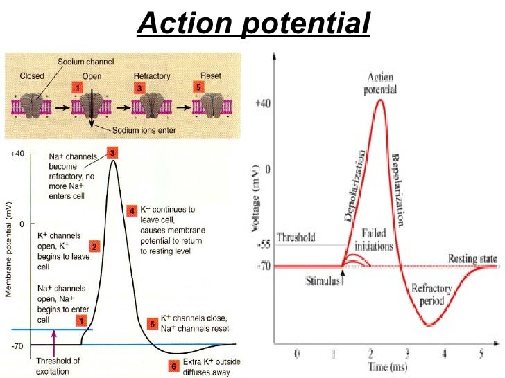 comparison graded potentials to action potentials essay 1 compare and contrast action and graded potentials your answer should include a definition of each, types, characteristics, ionic basis, functions, and anything else necessary to answer the question.