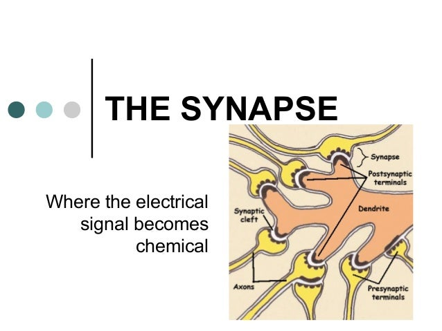 THE SYNAPSE Where the electrical signal becomes chemical
