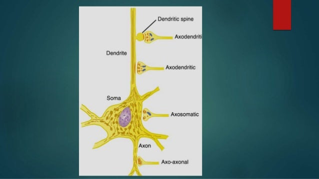stages of synaptic transmission