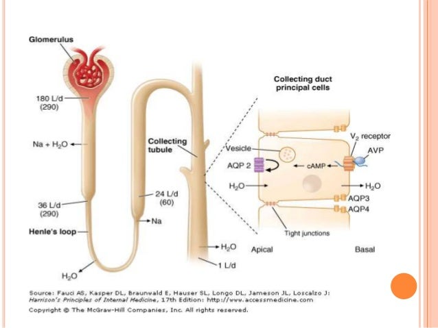 is antidiuretic hormone a protein or steroid