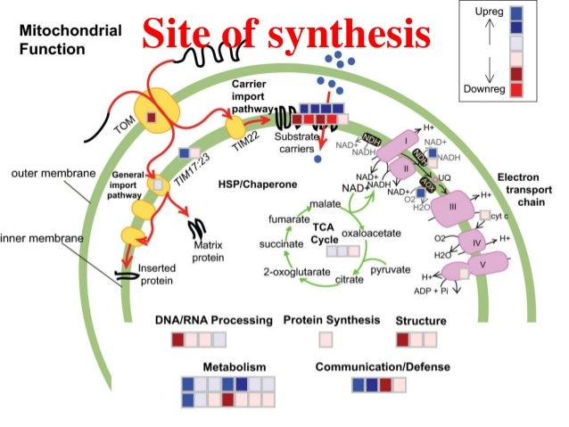 site of protein synthesis Protein synthesis is the process whereby biological cells generate new proteins it is balanced by the loss of cellular proteins via degradation or export translation, the assembly of amino acids by ribosomes, is an essential part of the biosynthetic pathway,.