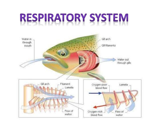 diagram of respiratory system in fish image collections