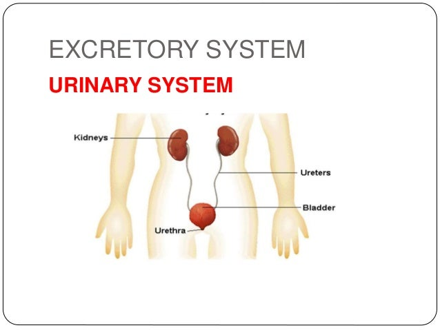 Systems of the nutrition circulatory and excretory system