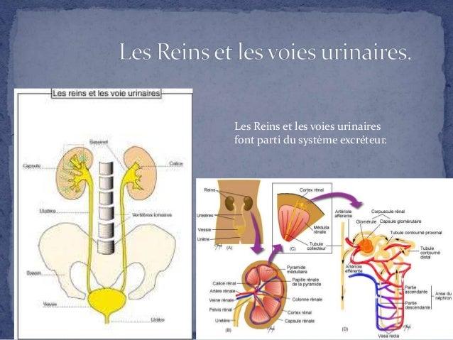 Les Reins et les voies urinaires font parti du système excréteur.