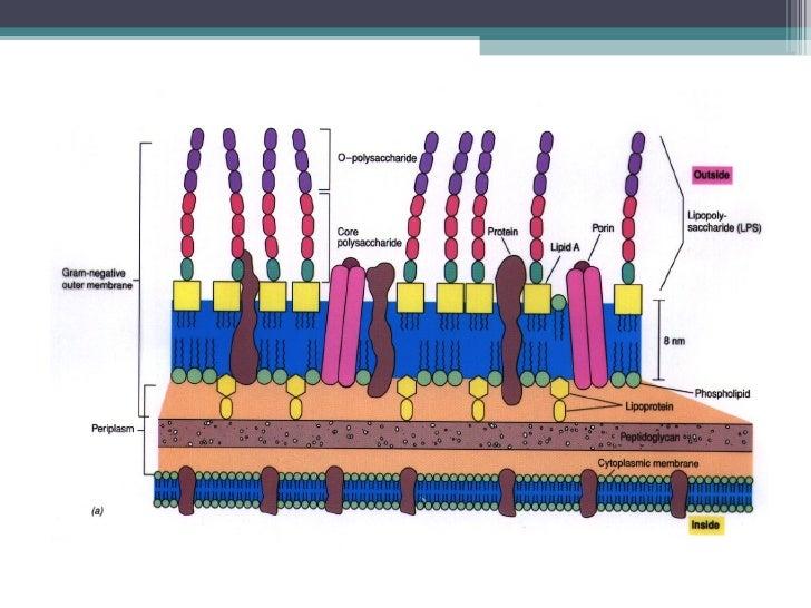 T.4. morfología y anatomía bacterianas