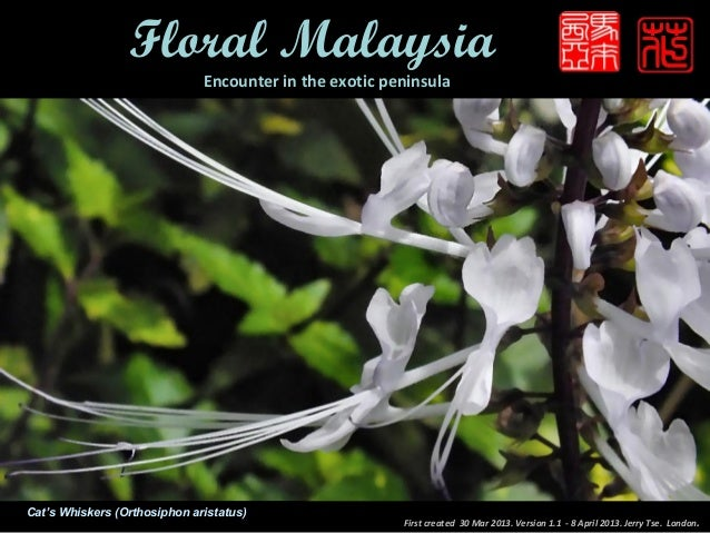Floral Malaysia                              Encounter in the exotic peninsulaCat's Whiskers (Orthosiphon aristatus)      ...