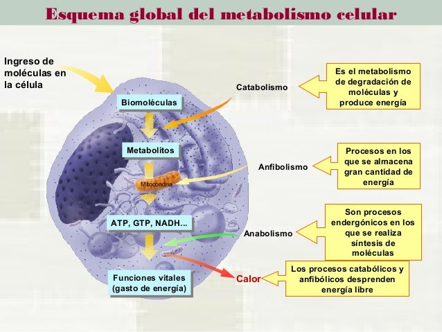 T 11 metabolismo celular, enzimas vitaminas