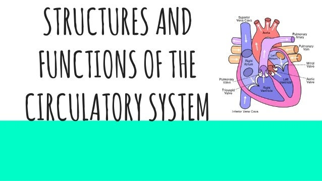 structures and functions of the circulatory system