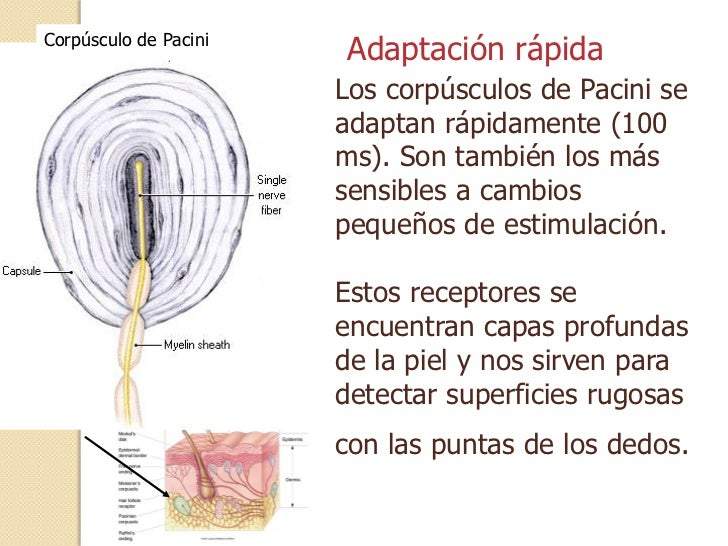 CORPUSCULOS DE PACINI EPUB DOWNLOAD