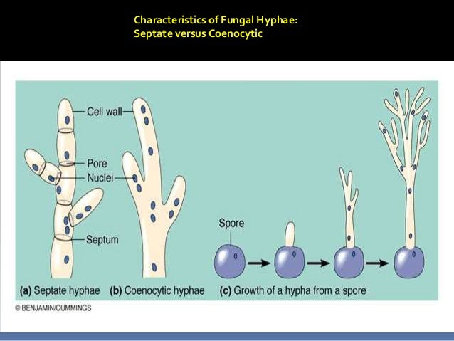 Taflaw Presentation  Classification Of Fungi