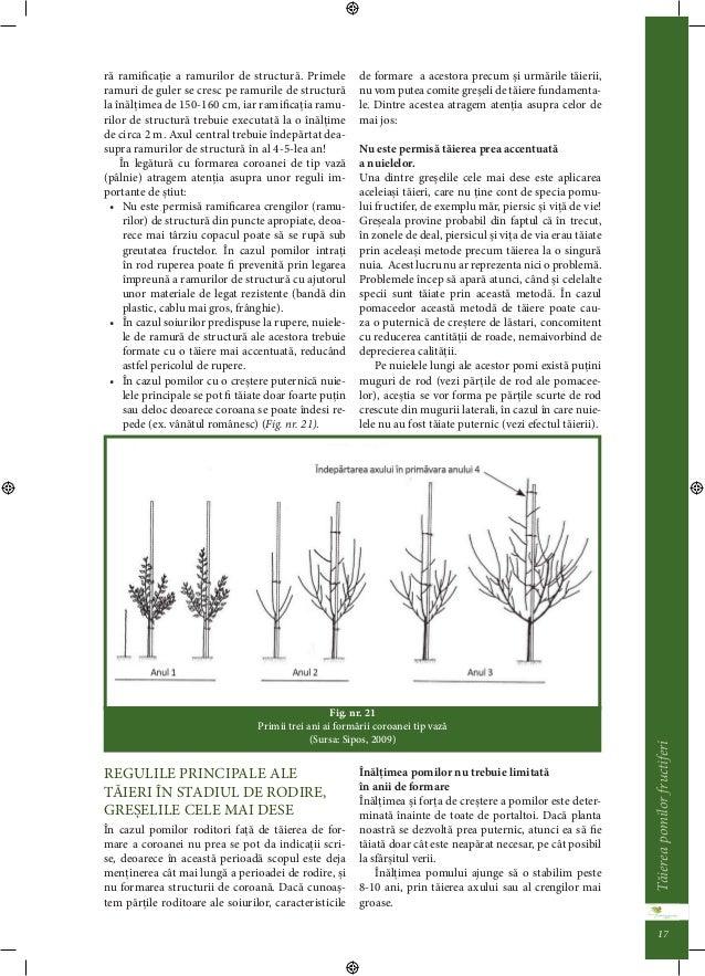 Taierea pomilor fructiferi 16  Axa falsa în verde  Axul central netaiat primavara se taie în ax fals,  când lastarii ajung...