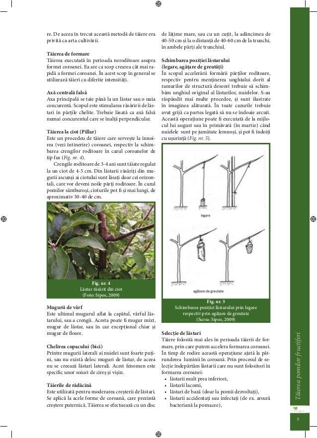 Taierea pomilor fructiferi 4  continuarea scurtarii ei prin taiere, din cauza  excesului de fructe, al secetei sau al even...
