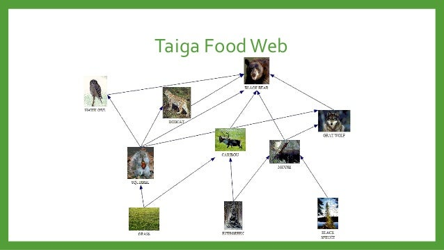 Food chain in a taiga ecosystems and biomes 4c.