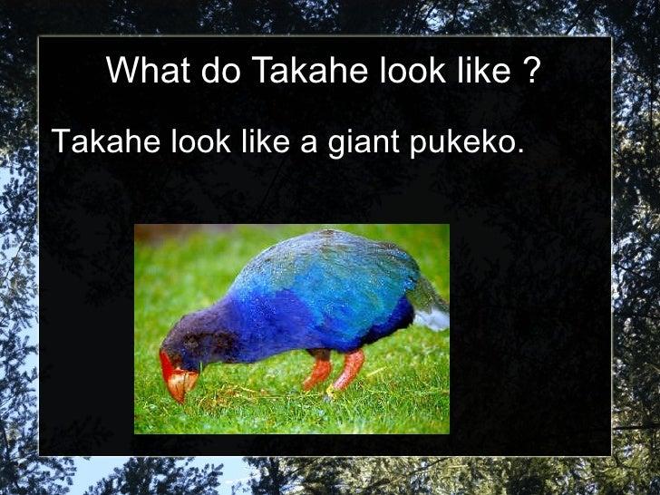 What do Takahe look like ? Takahe look like a giant pukeko.