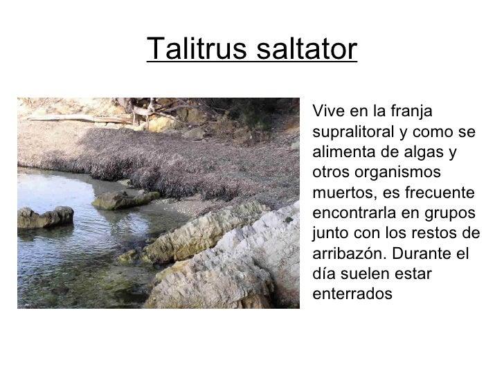 Talitrus saltator <ul><li>Vive en la franja </li></ul><ul><li>supralitoral y como se </li></ul><ul><li>alimenta de algas y...