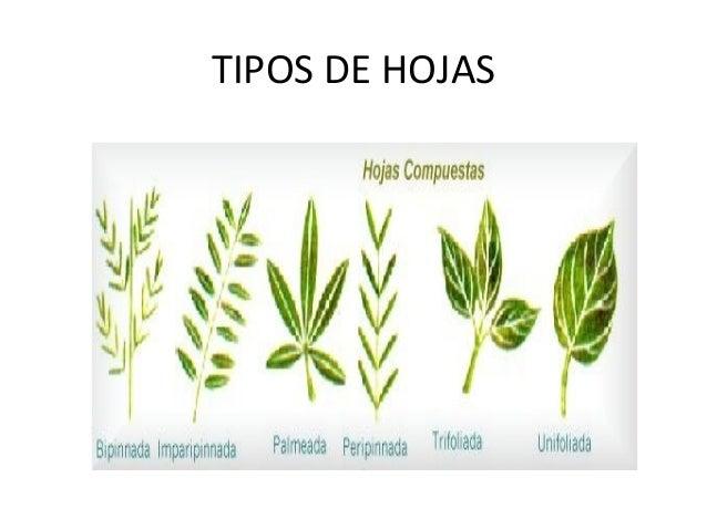 Taller de clasificacion de hojas for Arboles con sus nombres y caracteristicas