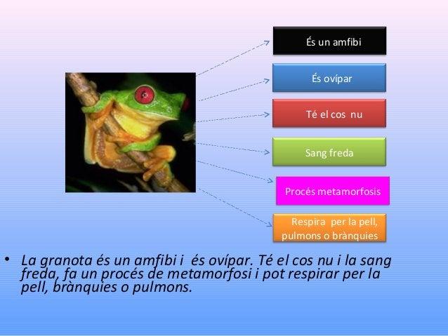 És un amfibi És ovípar Té el cos nu Sang freda Procés metamorfosis Respira per la pell, pulmons o brànquies  • La granota ...
