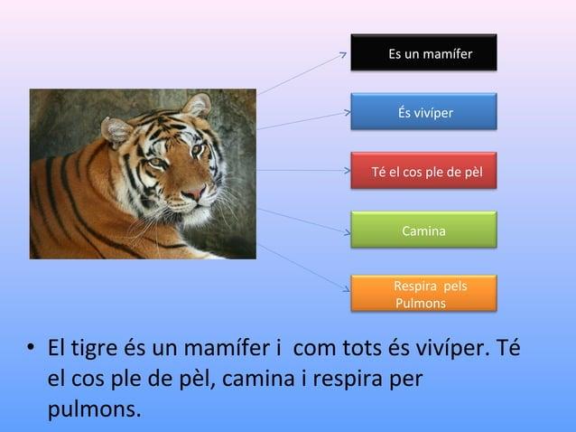 Es un mamífer  És vivípar  Té el cos ple de pèl  Camina  Respira pels Pulmons  • El tigre és un mamífer i com tots és viví...