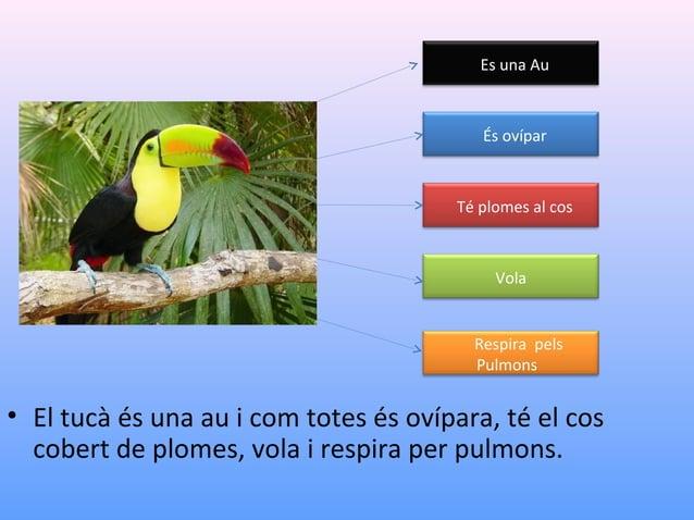 Es una Au  És ovípar  Té plomes al cos  Vola  Respira pels Pulmons  • El tucà és una au i com totes és ovípara, té el cos ...