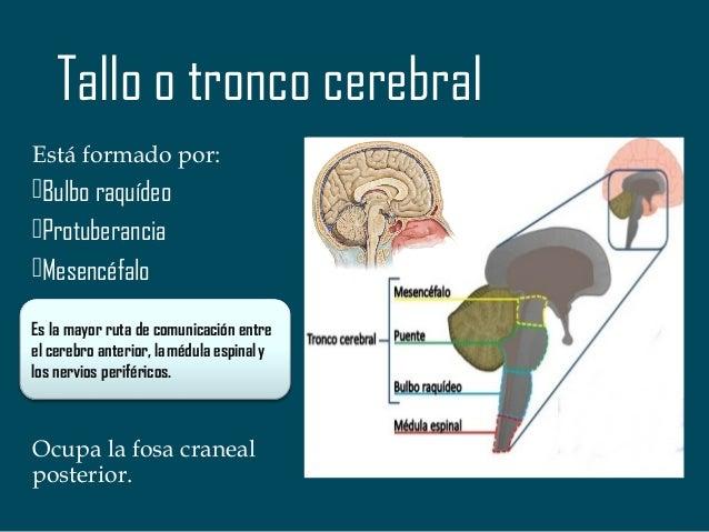 Configuración Interna del Tronco o Tallo cerebral