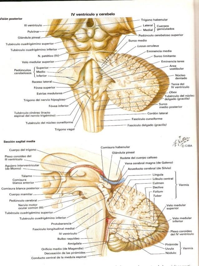 Asombroso Anatomía Del Tallo Regalo - Imágenes de Anatomía Humana ...