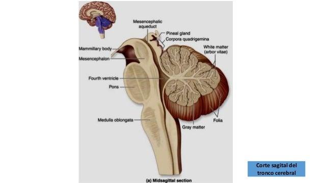 Tallo cerebral configuracion interna