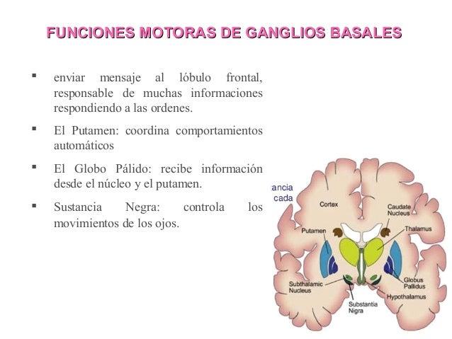 Tallo y ganglios basales en fisiologia del ejercicio