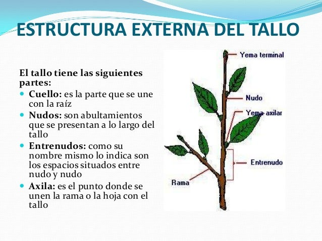Tallo Vegetal