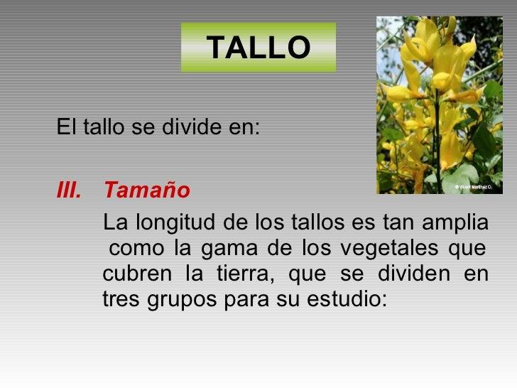 TALLO <ul><li>El tallo se divide en: </li></ul><ul><li>Tamaño </li></ul><ul><li>La longitud de los tallos es tan amplia  c...