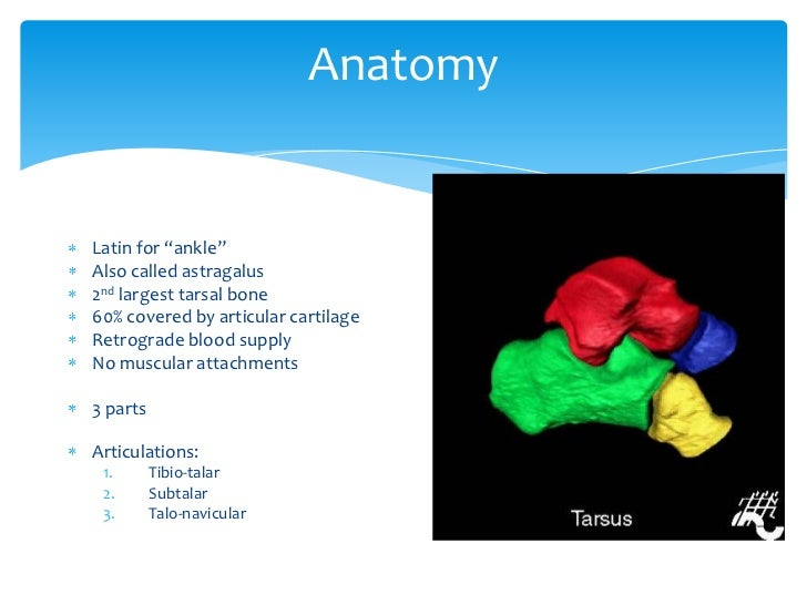 Talus anatomy, blood supply & fractures