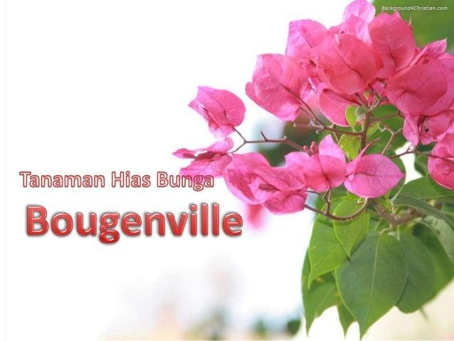 Tanaman Hias Bougenville