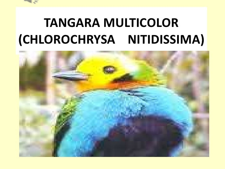 TANGARA MULTICOLOR   (CHLOROCHRYSA    NITIDISSIMA)<br />