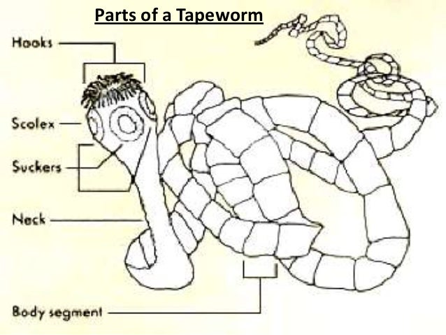 Human tapeworm diagram
