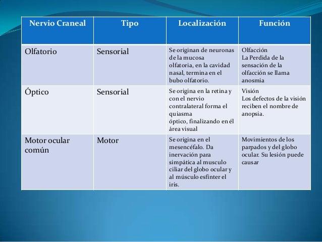 Nervio Craneal           Tipo      Localización                   FunciónOlfatorio         Sensorial      Se originan de n...
