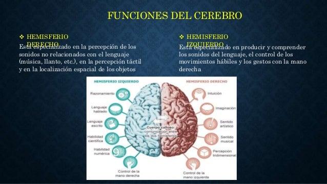 Anatomia y fisiologia del cerebro humano