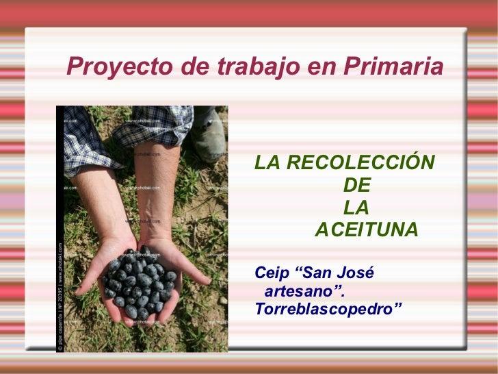 """Proyecto de trabajo en Primaria LA RECOLECCIÓN  DE LA ACEITUNA Ceip """"San José artesano"""". Torreblascopedro"""""""