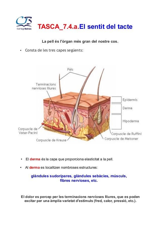 TASCA_7.4.a.El sentit del tacte  La pell és l'òrgan més gran del nostre cos.  • Consta de les tres capes següents:  • El d...