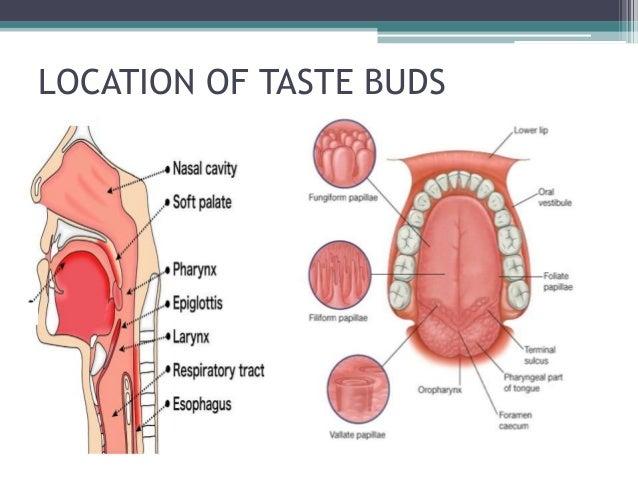Palate taste buds