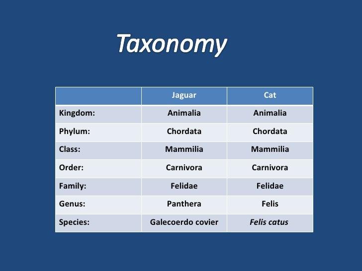 Jaguar Cat Kingdom:  Animalia Animalia Phylum:  Chordata Chordata Class:  Mammilia Mammilia Order:  Carnivora Carnivora Fa...