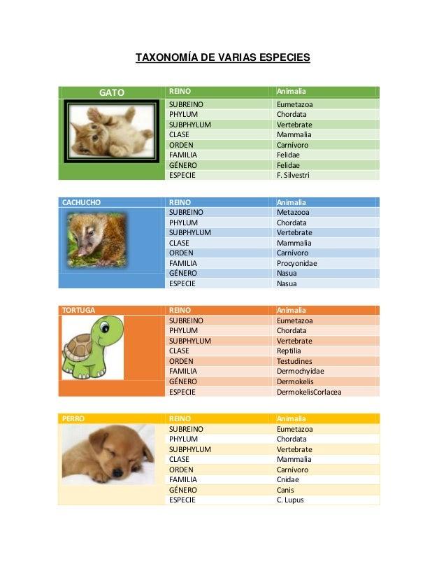 TAXONOMÍA DE VARIAS ESPECIES GATO REINO Animalia SUBREINO Eumetazoa PHYLUM Chordata SUBPHYLUM Vertebrate CLASE Mammalia OR...