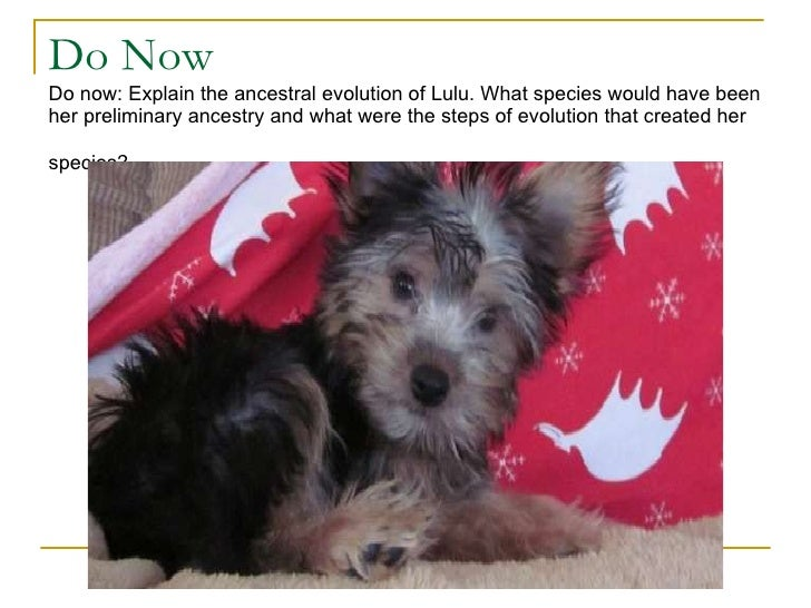 Do Now Do now: Explain the ancestral evolution of Lulu. What species would have been her preliminary ancestry and what wer...