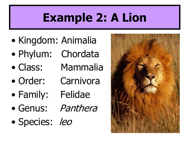 classification of lion from kingdom to species