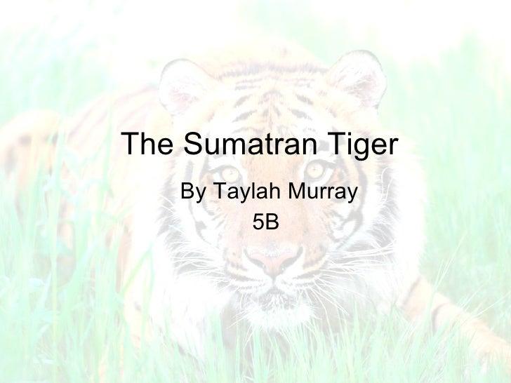 The Sumatran Tiger By Taylah Murray 5B