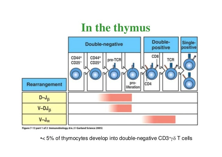 T cell maturation050406